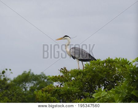 Grey heron standing on a tree with the neck retracted