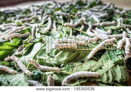 Suzhou, China - Nov 5, 2016: At Suzhou Number 1 Silk Factory; silkworms feeding on mulberry leaves. Low-light and shallow depth of field image.