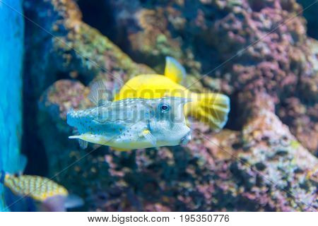 White-spotted puffer (Arothron hispidus). Marine fish in blue water.
