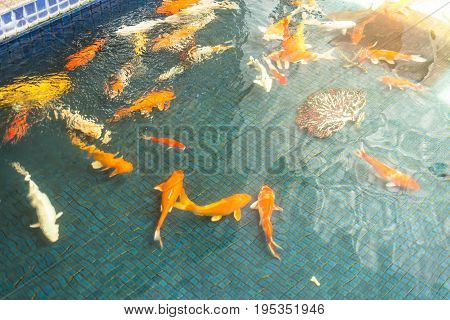 Koi carps swimming in the Pond soft and select focus