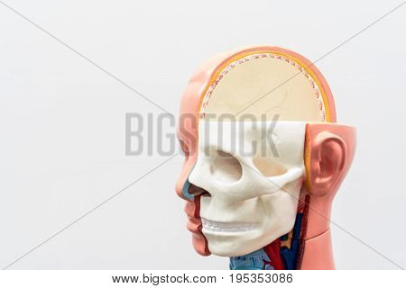 Close-up of Internal organs dummy on white background. Human anatomy model. Bones of the Skull.