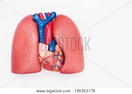 Close-up of Internal organs dummy on white background. Human anatomy model. Heart and Lungs Anatomy.