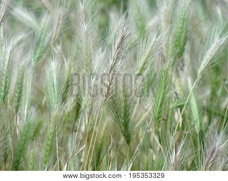 Summer in thin lines. The thin hairs of spikelets of grass close-up on the platinum background color turning to light green.