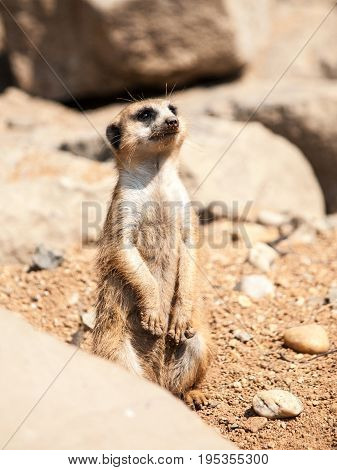 Meerkat, suricata suricatta, alert on guard on rocky and dry ground, South Africa.