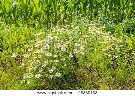 Lush flowering and spicy fragrant wild chamomile plants at the edge of a field of growing maize plants on a sunny day in the beginning of the Dutch summer season.