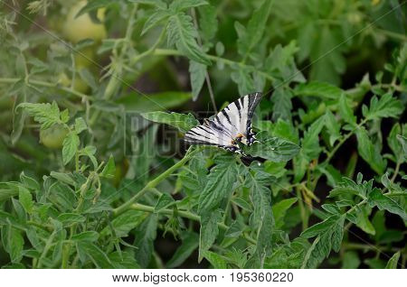 Scarce Swallowtail (iphiclides Podalirius) Rare European Butterfly Is Sitting On The Bushes Of A Blo