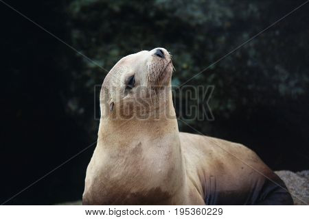 California sea lion looking up against a darkened background