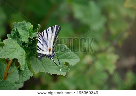 Scarce Swallowtail (iphiclides Podalirius) Rare European Butterfly Is Sitting On The Bushes Of Bloss
