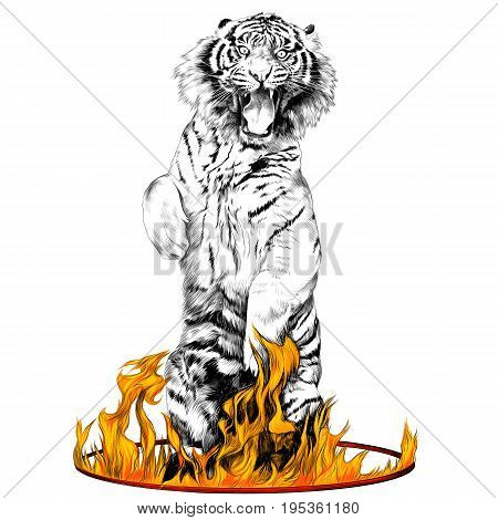 tiger full-length is on its hind legs in a circus ring of fire sketch vector graphics black and white drawing and colored flame