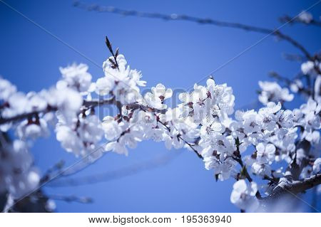 Spring Cherry blossoms in the Hunza Valley Pakistan