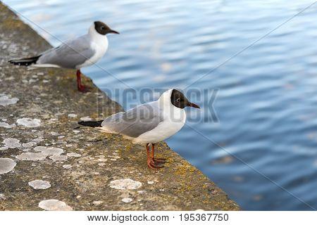 A couple of black headed seagulls (Chroicocephalus ridibundus) sit on a sea wall in Northern Europe.