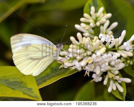 Rape Butterfly (Pieris napi) pieridae belonging to the species.