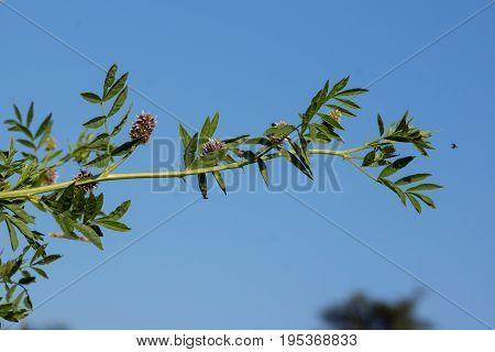 Licorice (Glycyrrhiza glabra) leaf and fruit in summer ..