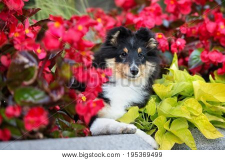 adorable shetland sheepdog puppy posing outdoors in summer poster