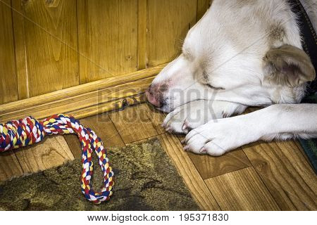 A sad white dog lies on the floor in the hallway close up.