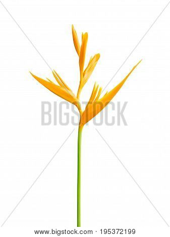 Heliconia Psittacorum Golden Torch Isolated on White Background