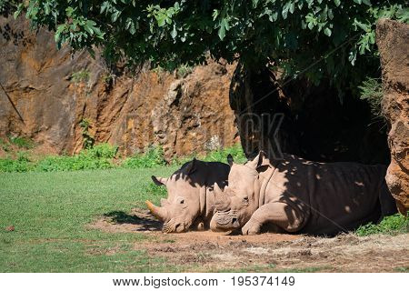 White Rhinoceros Dozing In Shade Of Tree