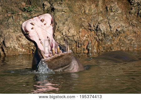 Hippopotamus Opening Mouth Wide In Calm Water