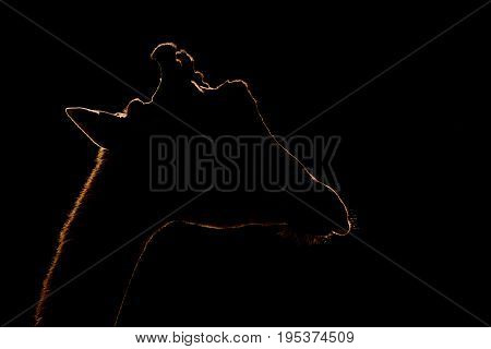 Close-up Of Silhouetted Giraffe Against Black Background