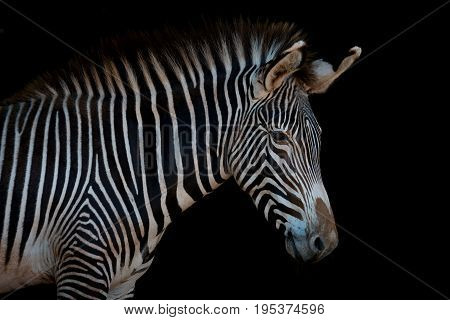 Grevy Zebra In Profile Looking At Camera