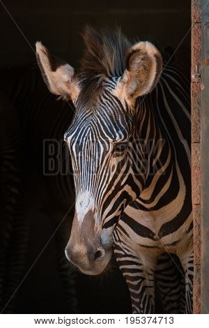 Close-up Of Grevy Zebra Standing In Shed