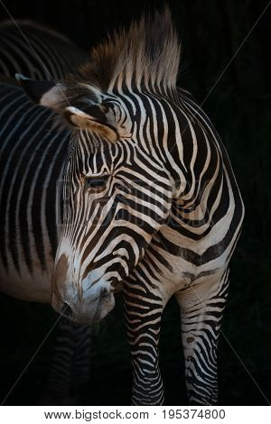 Close-up Of Grevy Zebra Turning Head Right