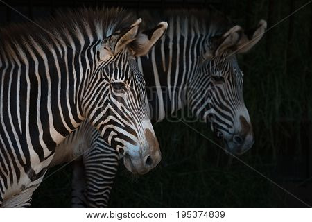 Close-up Of Pair Of Grevy Zebra Heads