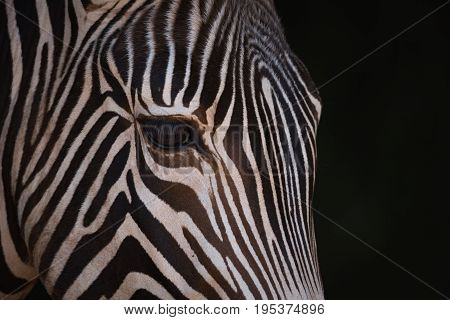 Close-up Of Grevy Zebra Head From Side