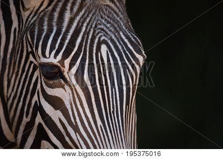 Close-up Of Grevy Zebra Staring At Camera