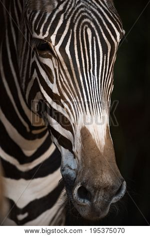 Close-up Of Grevy Zebra Nose In Blackness