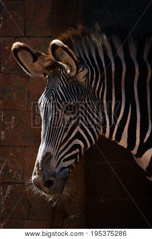 Close-up Of Grevy Zebra Head In Sunlight