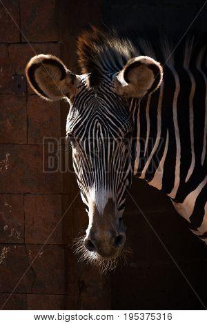 Close-up Of Grevy Zebra Head In Sunshine