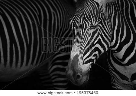 Mono Close-up Of Grevy Zebra Closing Eyes