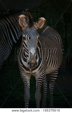 Close-up Of Grevy Zebra Head And Body