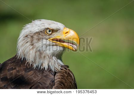 Close-up Of Bald Eagle With Open Beak