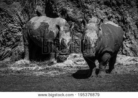 Mono Pair Of White Rhinoceros Beneath Cliff