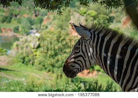 Close-up Of Grevy Zebra With Lake Behind
