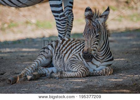 Baby Grevy Zebra Lying Next To Mother