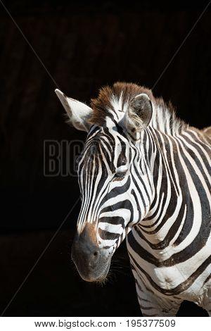 Close-up Of Grevy Zebra Standing In Sunlight