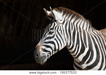 Close-up Of Grevy Zebra With Head Turned