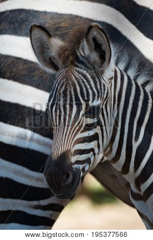 Close-up Of Grevy Zebra Foal By Mother