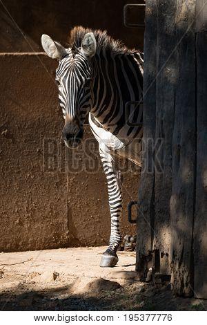 Grevy Zebra Standing By Sunny Barn Door