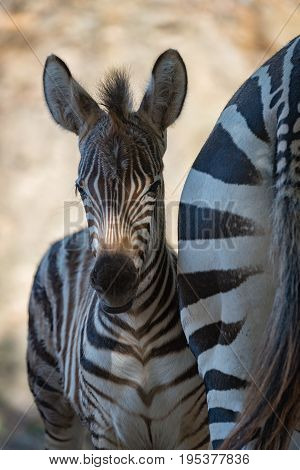 Close-up Of Grevy Zebra Foal In Shadow