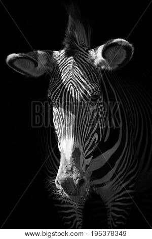 Mono Close-up Of Grevy Zebra In Darkness