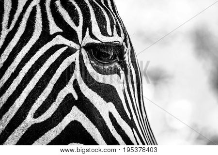 Mono Close-up Of Grevy Zebra Right Eye