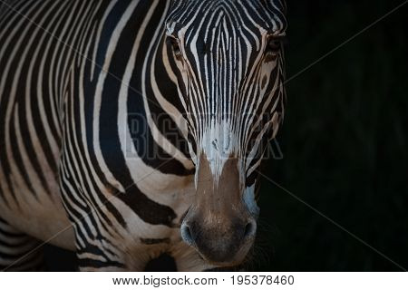 Close-up Of Grevy Zebra Standing In Blackness