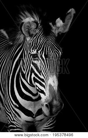 Mono Close-up Of Grevy Zebra Looking Forwards