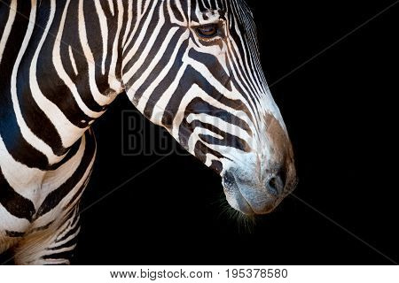 Close-up Of Grevy Zebra Head And Neck