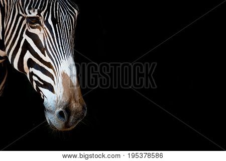 Close-up Of Grevy Zebra Peeping Into Frame