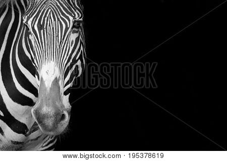 Mono Close-up Of Grevy Zebra Staring Forward